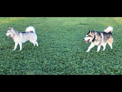 Siberian Husky vs Alaskan Malamute, what is the difference