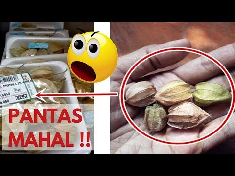 PANTAS MAHAL !! Ini Manfaat Luar Biasa Tanaman Ciplukan Untuk Kesehatan Mp3