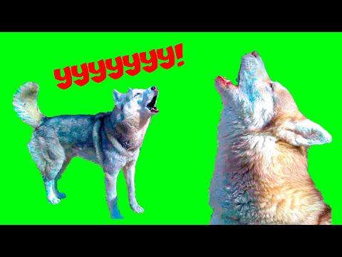 ВОЕМ 24 ЧАСА БЕЗ ОСТАНОВКИ!! КТО НЕ ВЫДЕРЖИТ ПЕРВЫМ?? (Хаски Бублик) Говорящая собака Mister Booble