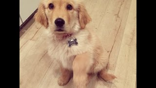 Golden Retriever Puppy - Leo The Lion