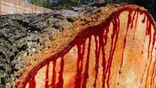 মানুষের শরীরের মত রক্ত বের হয় গাছ কাটলে   ২৩ অক্টোবর ২০১৯