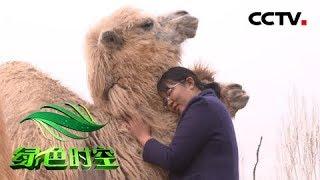"""《绿色时空》 20190526 骆驼在平原 """"走""""出花样财富  CCTV农业"""