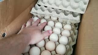 транспортировка инкубационного яйца
