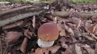 Сбор белого гриба германия HD