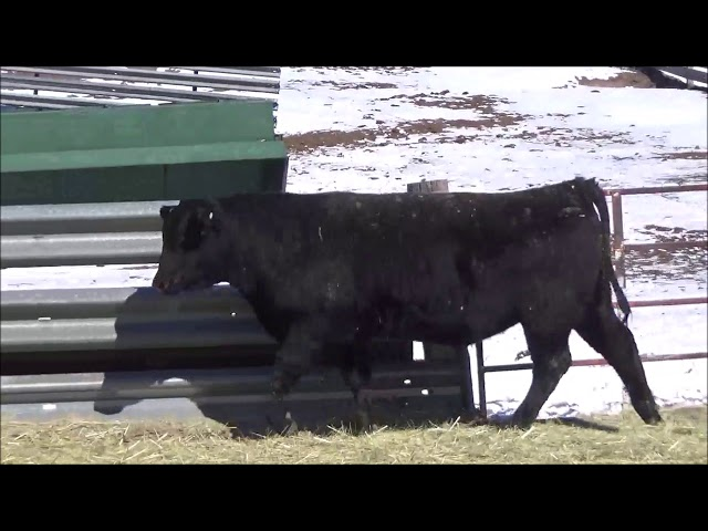 Connealy Angus Lot 174