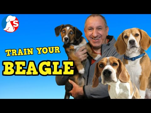how-to-train-a-beagle-to-listen