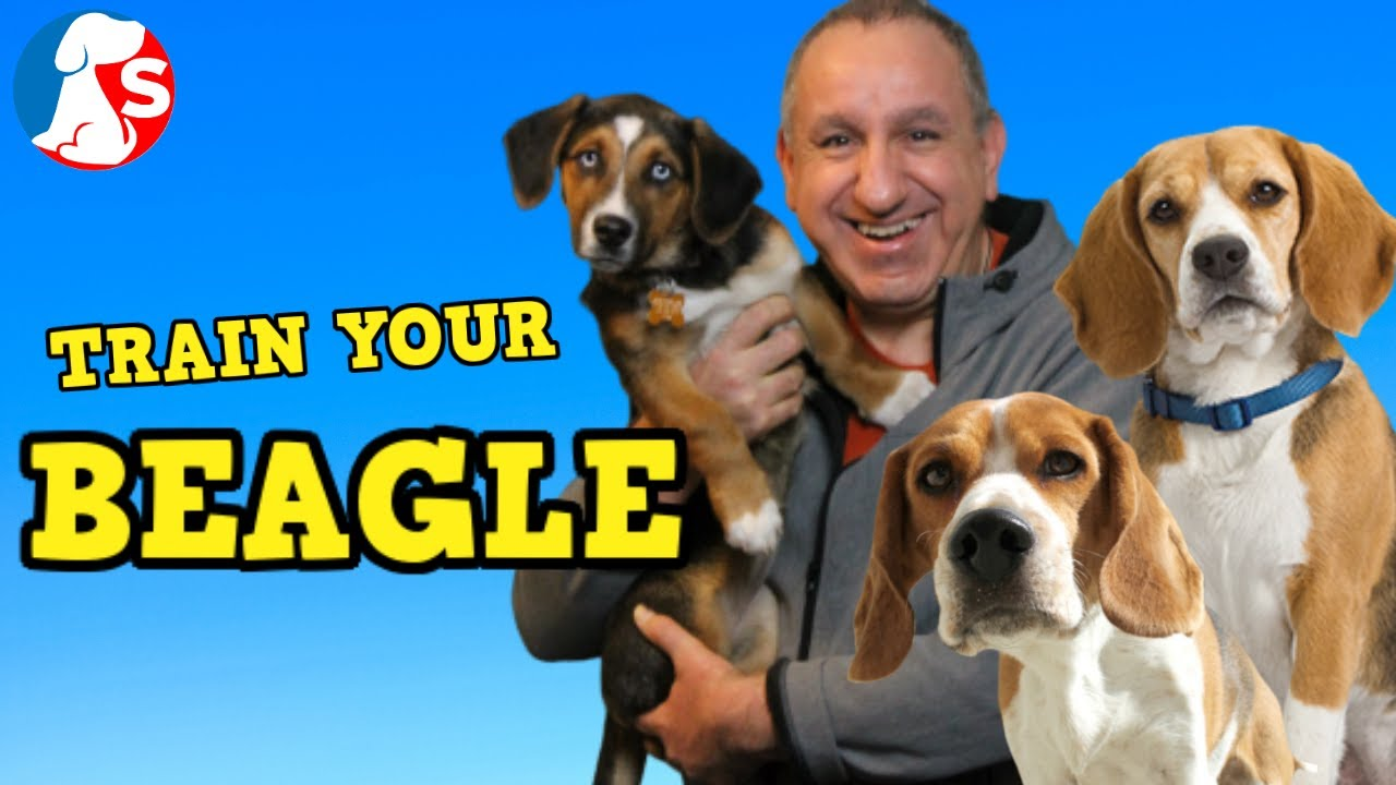 How To Train A Beagle To Listen Behave Youtube