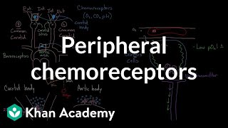 Peripheral chemoreceptors | Respiratory system physiology | NCLEX-RN | Khan Academy