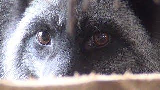 Стереотипное поведение животных на зверофермах