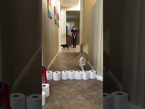 Nutterbutter On Fire (Cat jumping toilet paper)