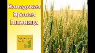 Канадская пшеница яровая в Украине от Агроэксперт-Трейд