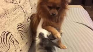 Бой кота и собаки. жесть. Смотреть до конца.(Кот зверски напал на собаку., 2016-11-17T13:47:45.000Z)