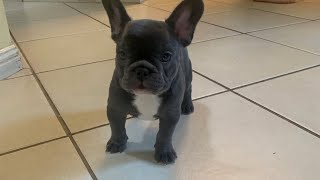 Frenchie Puppy Claims Her Territory For The First Time #shorts #youtubeshorts #pixieandbrutus