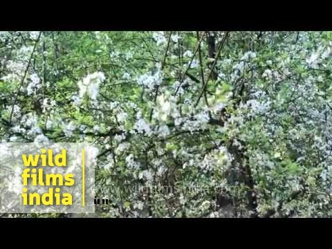 White plum blossoms flowering in the spring youtube white plum blossoms flowering in the spring mightylinksfo