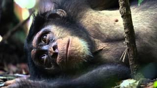 Шимпанзе - Трейлер