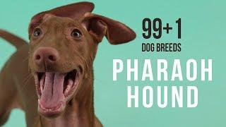 Pharaoh Hound / 99+1 Dog Breeds