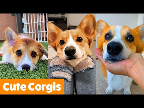 Cute Corgi Bloopers & Reactions   Funny Pet Videos