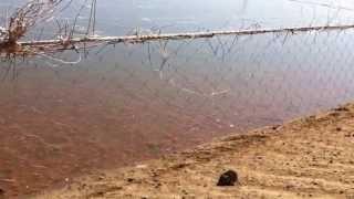 Siembra Tilapia roja en Agua Salada, Sinaloa, México