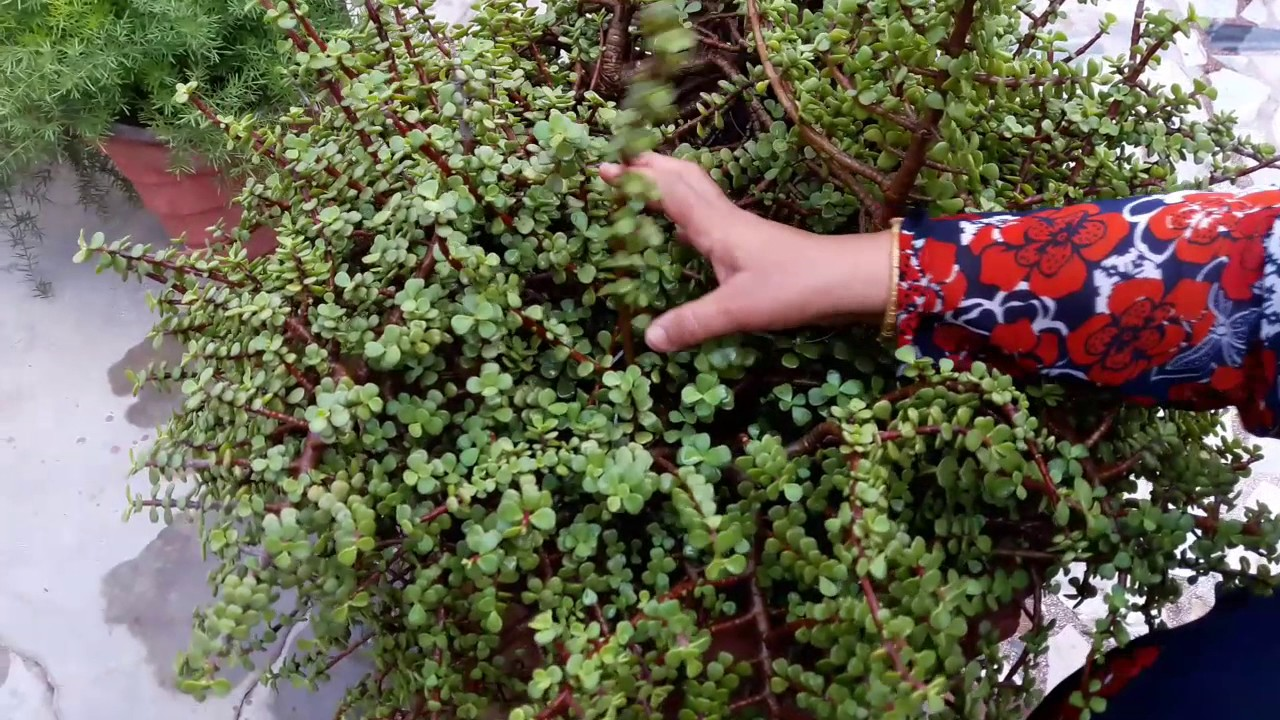 How to Grow a Jade Plant pics