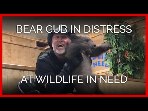 Bear Cub in Extreme Distress and Terror at Wildlife in Need