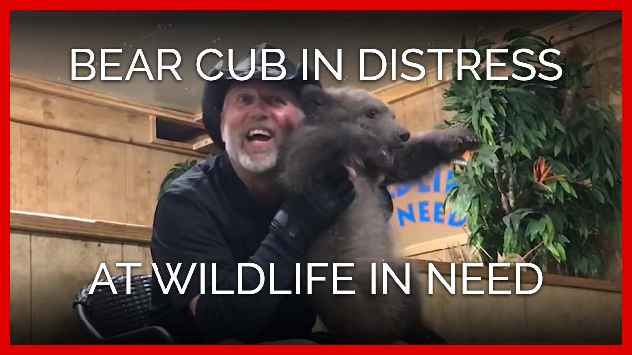 bear-cub-in-extreme-distress-and-terror-at-wildlife-in-need