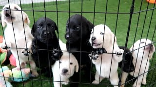 LABRADOR PUPPIES TRY FOOD FOR 1ST TIME!!