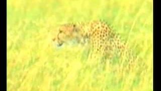 Забота гепарда о своем потомстве
