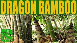Dragon Bamboo - Dendrocalamus giganteus - The worlds tallest Bamboo