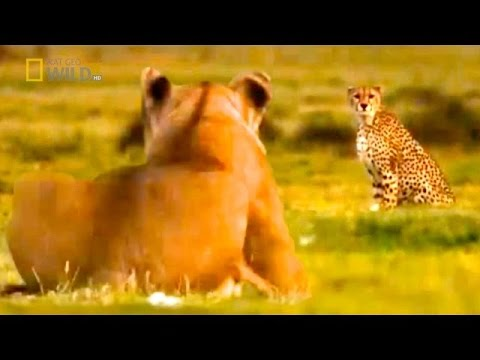EXPERT PREY'S CATCHERS: Lion & Cheetah [NAT GEO WILD Lion Video HD Documentary]