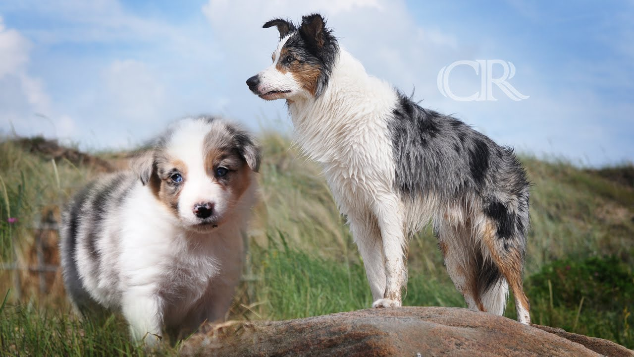 Time Lapse Puppy To Adult L Border Collie Youtube