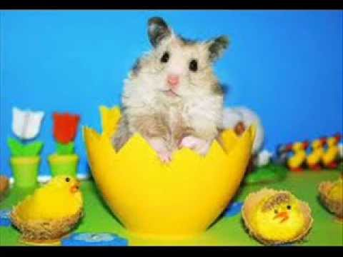 Hampton the Hampster  The Official Hamster Dance Song