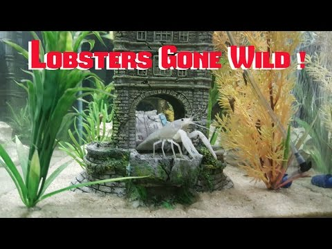 FRESHWATER CRAYFISH  - LOBSTERS  - The Do's And Don't!!