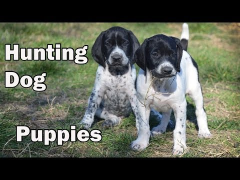 "HUNTING DOG PUPPIES - Donau-Wirbeln ""P"" Litter - 5 weeks old"
