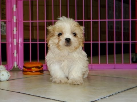 Shih Tzu Puppies Dogs For Sale In Southaven County Mississippi