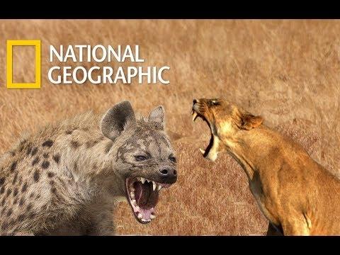 Lion Vs Hyena War