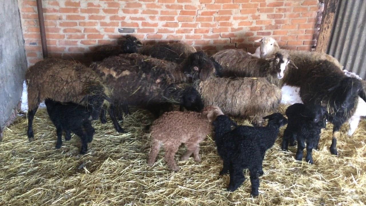 Содержание овец в домашних условиях. Загон для овец.