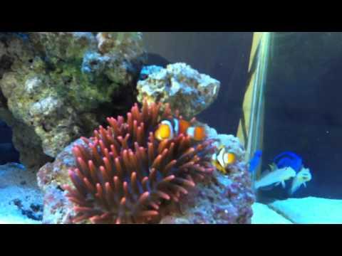 True Percula Clownfish Paring