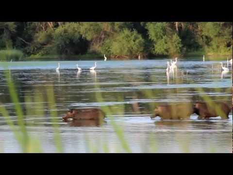 Swimming Feral Pigs and Threatened Wood Storks in Dallas Texas