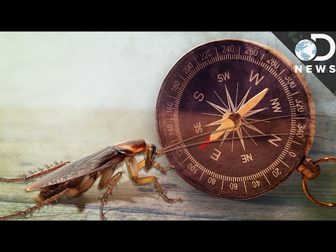 What Magnetizing Cockroaches Can Teach Us About Navigation