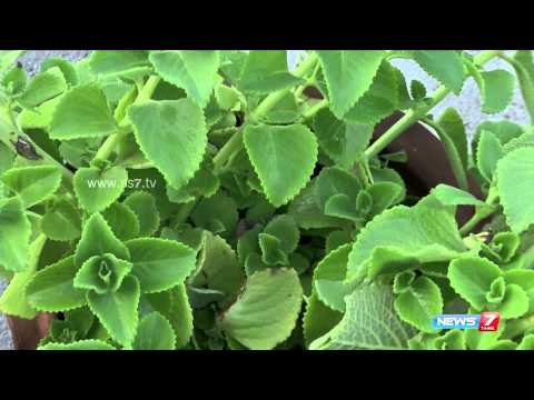 Oregano (Karpuravalli) - must grow this plant in every house for Infants    Poovali   News7