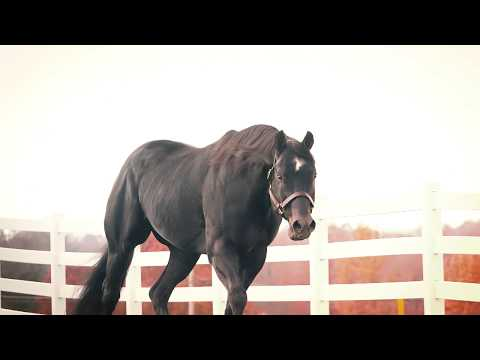 Willy Be Invited - Black AQHA Stallion