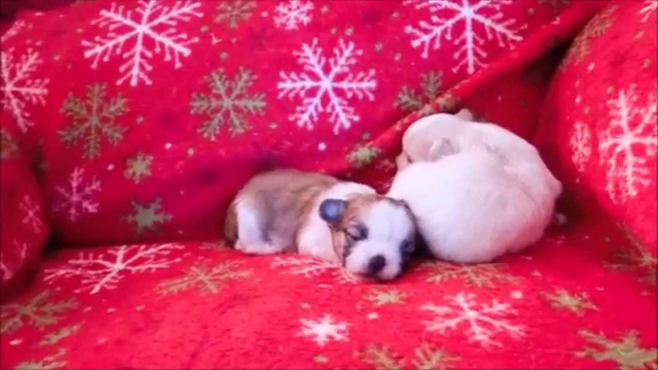 CiCi Puppies, 15 days 11-13-14