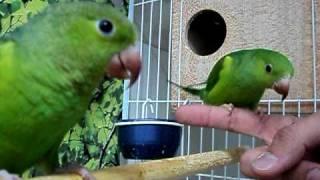Os meus periquitos verde (verdinho e verdinha andre)