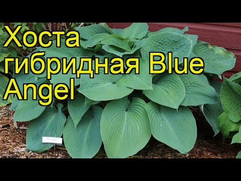 Хоста гибридная Голубой Ангел. Краткий обзор, описание характеристик hosta Blue Angel