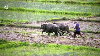 Pokhara Lake, Nepal, View of farmers plowing with ox, farming rice, paddy