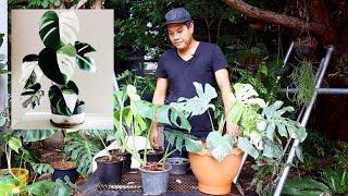 แนะนำมอนสเตร่า MonsteraAlbo - สวนข้างบ้านฉัน ep36