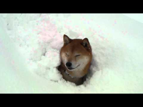 柴犬ジロー 大雪で・・・ Shiba inu