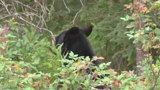 Bear Breaks Into Bakery To Eat Every Pie But Strawberry Rhubarb