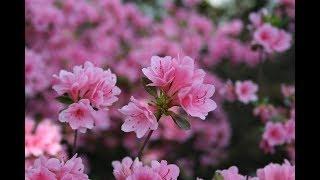 Tất cả bộ phận của hoa đỗ quyên đều có chứa độc tố | VTV24