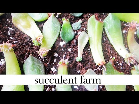 How To Propagate Succulents Like A BOSS!